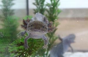 Axolotl-Jungtier (dunkle Variante)