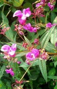 Blüten des Drüsigen Springkrauts